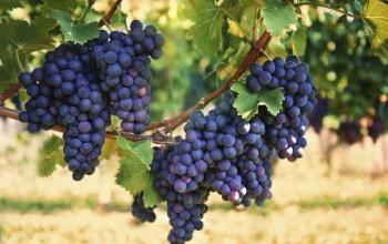 engrais organiques - viticulture